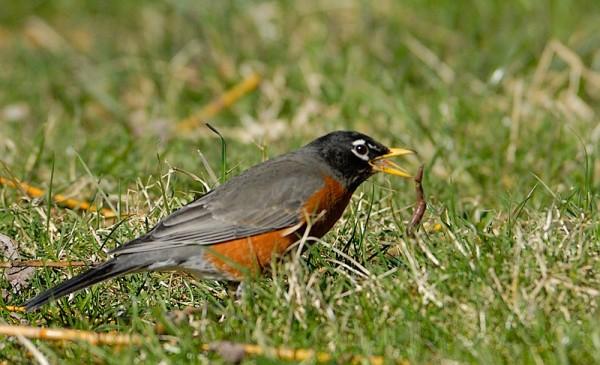 Feasting Robin