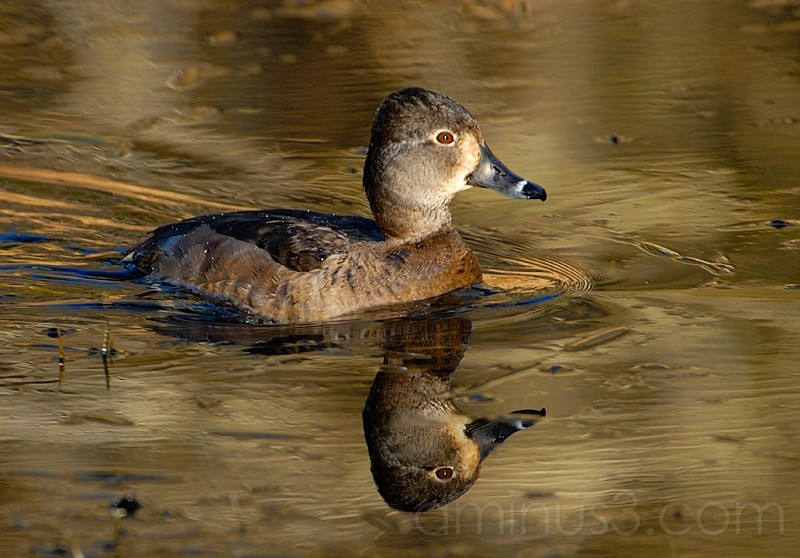 Ring Necked Duck Hen