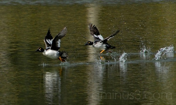 Ducks Taking Off