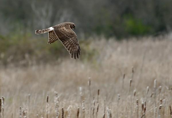 Hawk Patrolling