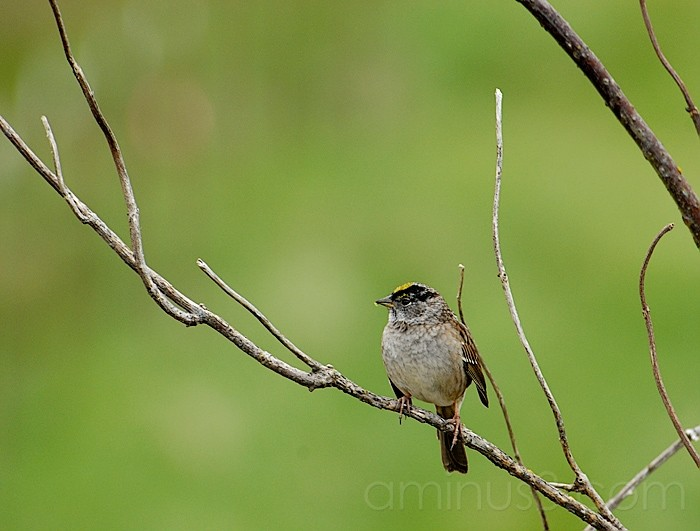 Gold Crowned Sparrow