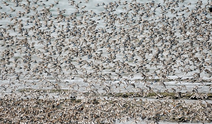 Shorebird Swarm