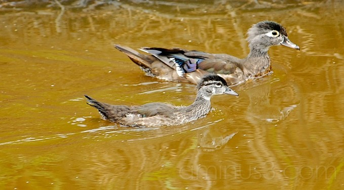 Mommy Wood Duck & Kiddy Wood Duck
