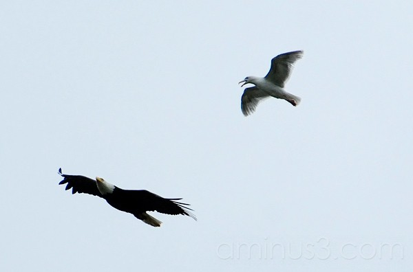 Gull Chasing Eagle