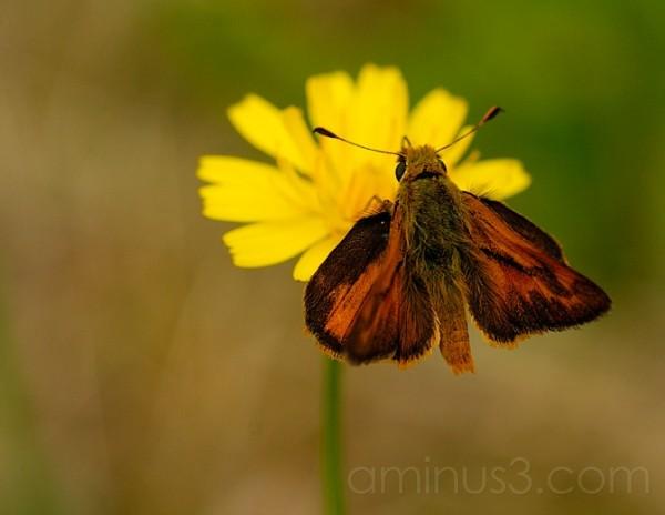 Big Moth