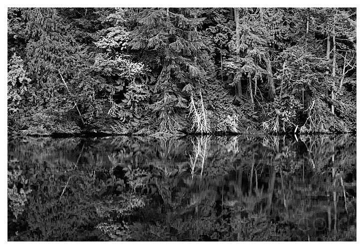 Forest Reflected