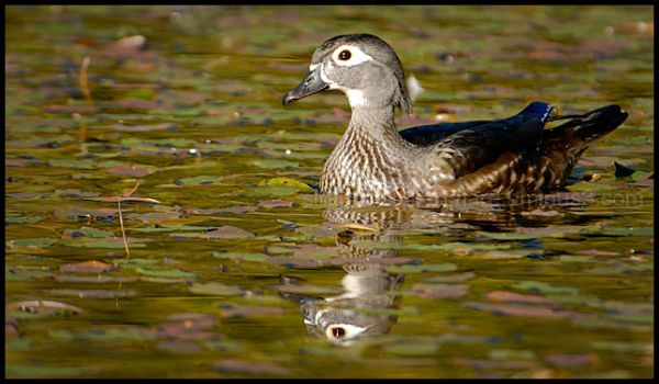 Wood Duck Hen