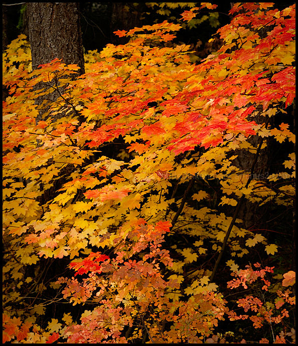 Autumnal Forest III