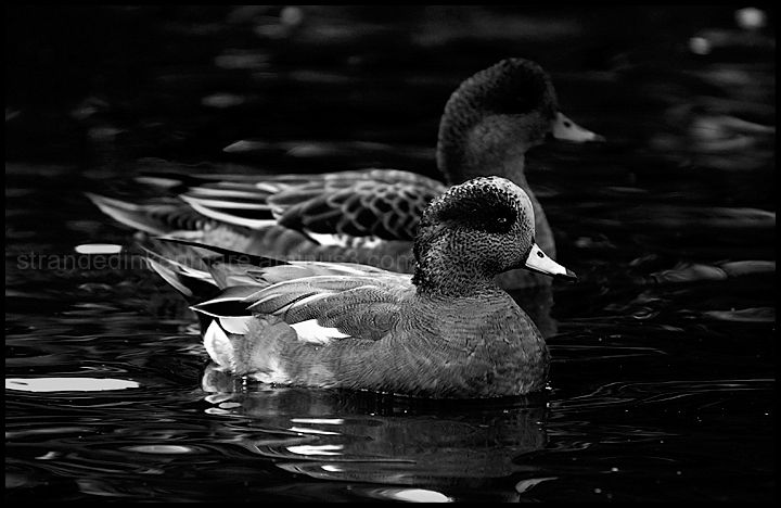 Widgeon Duo