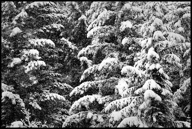 Snowy Boughs