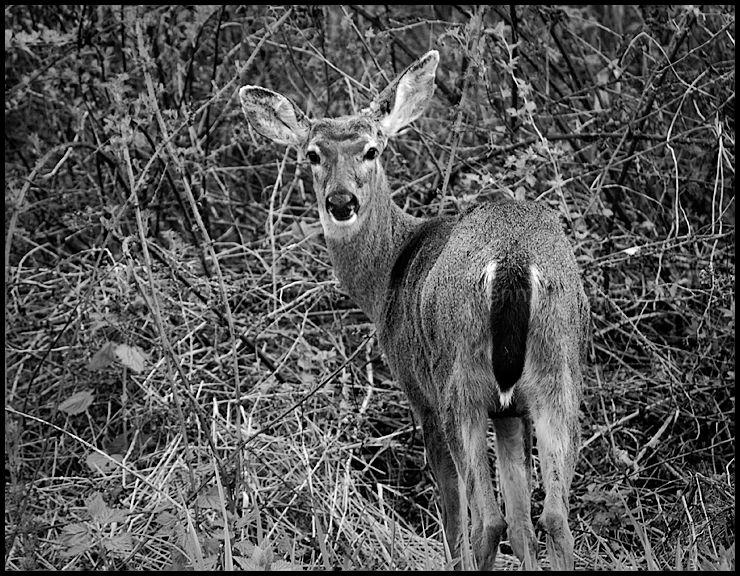 A Deer Dear