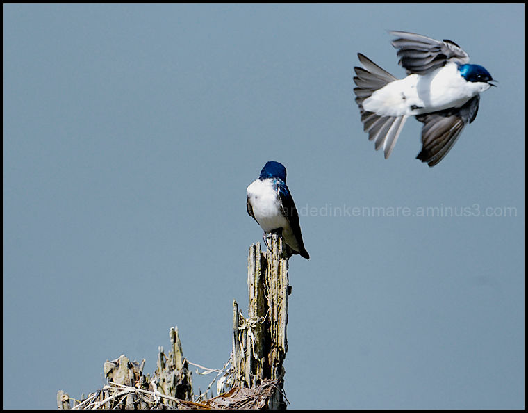 Swallow Play