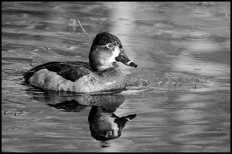 Ring  Neck Duck Hen
