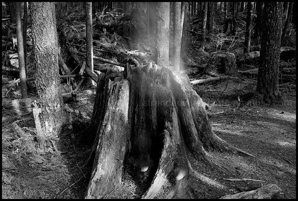 The Stump Also Rises