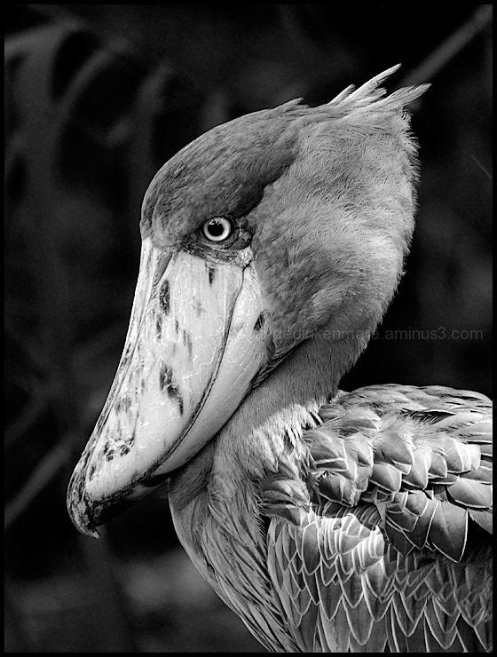 Huge Beak! - Jurong Bird Park, Singapore