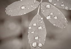 Droplets on Leaves
