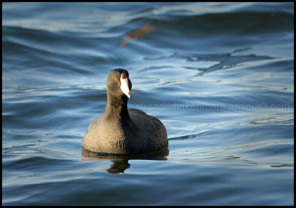 Coot Red-eye