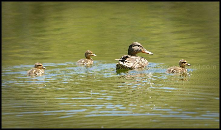 Happy Ducky Family