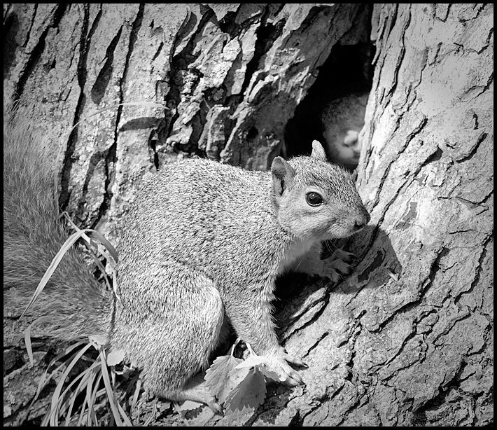 Mama Squirrel defends Den with Baby inside