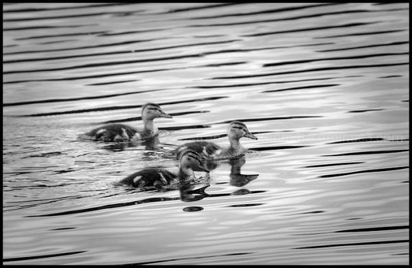Duckling Trio