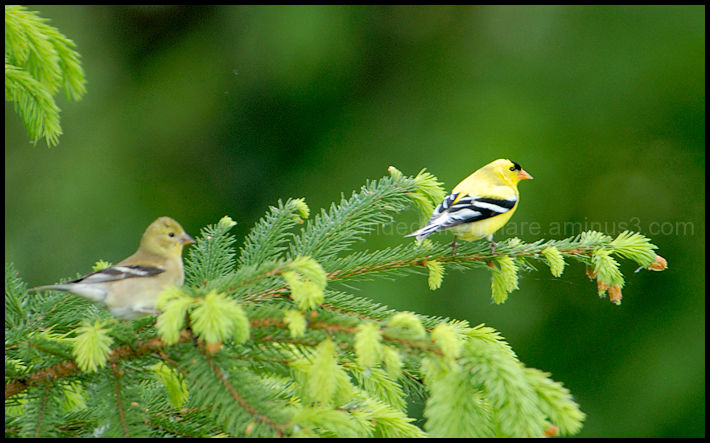 Goldfinch Couple