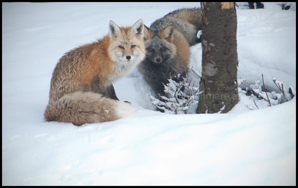 Red Foxes in Paradise