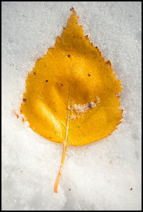 Yellow Leaf in Snow