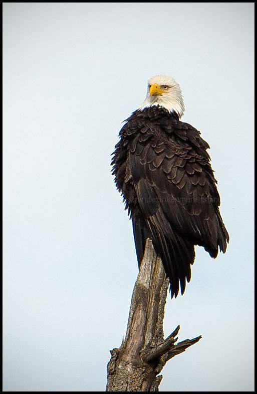 Regal the Eagle