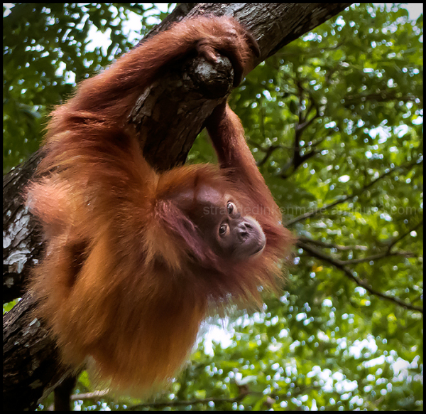 Free Range Orangutan