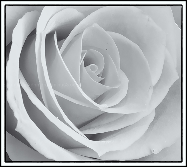 just a rose II