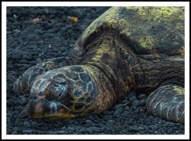 Big Island Adventure - Green Sea Turtle