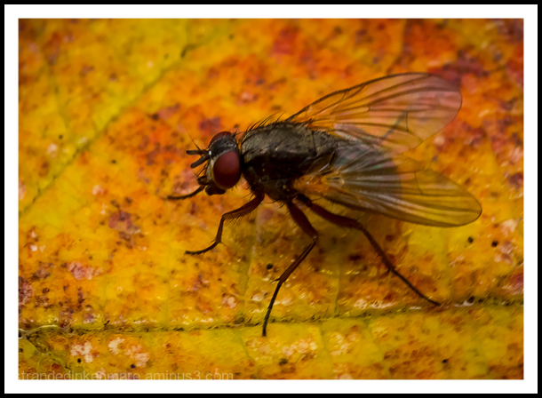 The Fly!