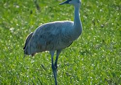 Sandhill Cranes Adventure- the Elusive Crane!