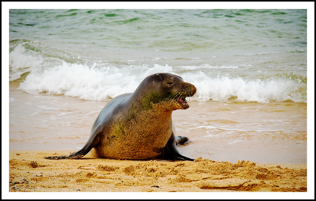 sleepy monk seal