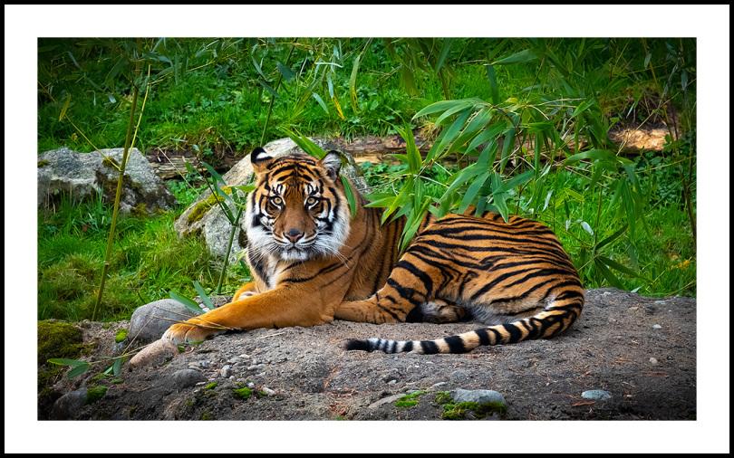 Regal, Tiger Regal
