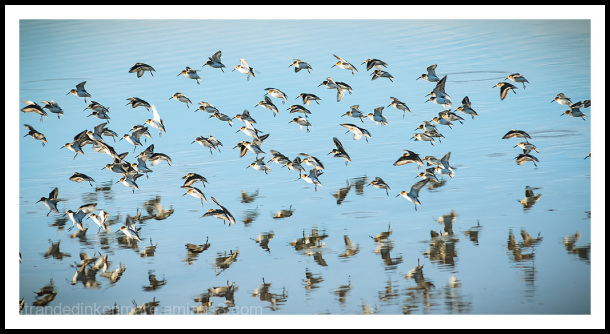 shorebird riot!