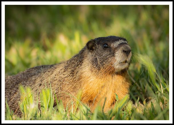 Palouse Falls Marmot_