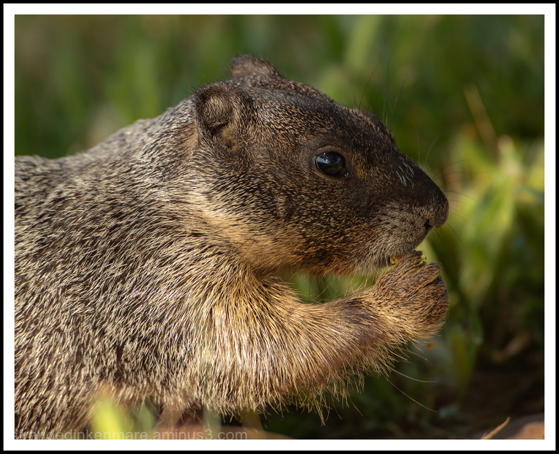 Baby Marmot