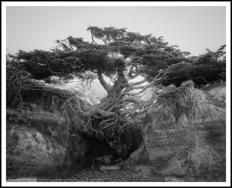 Tree of Life, Kalaloch