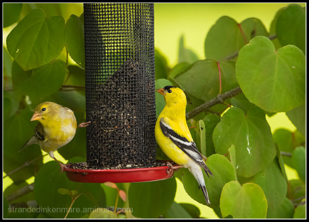 Mr. & Mrs. Finch, Gold Finch