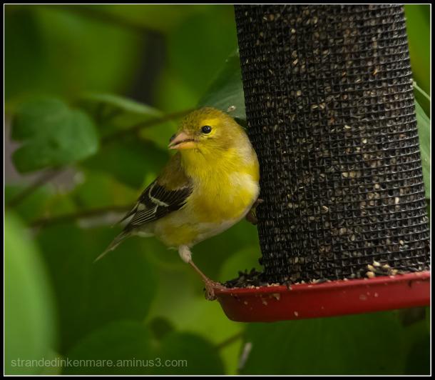 Jaunty Finch