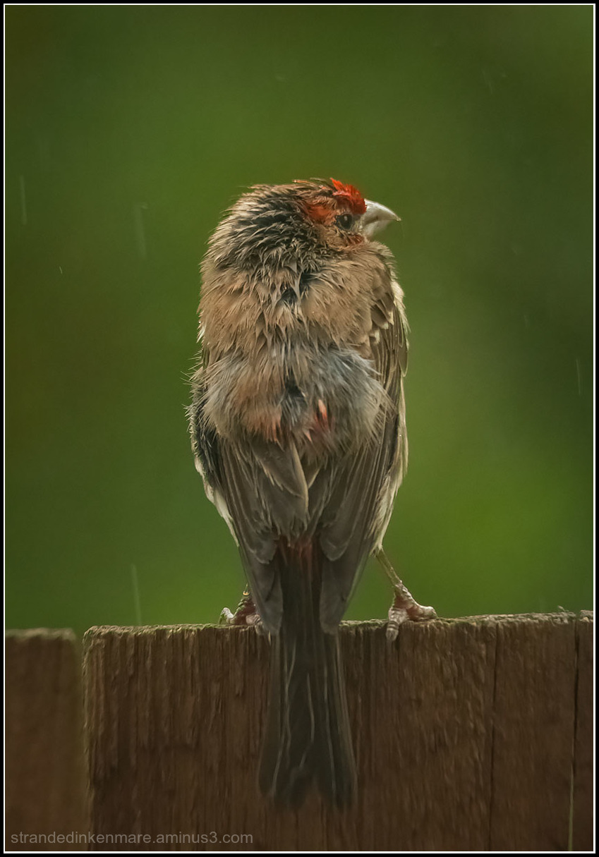 soaked house finch