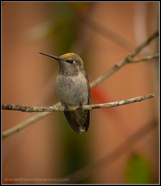 Allen's Hummingbird?