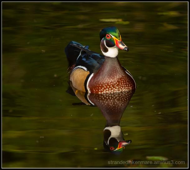 A curious duck