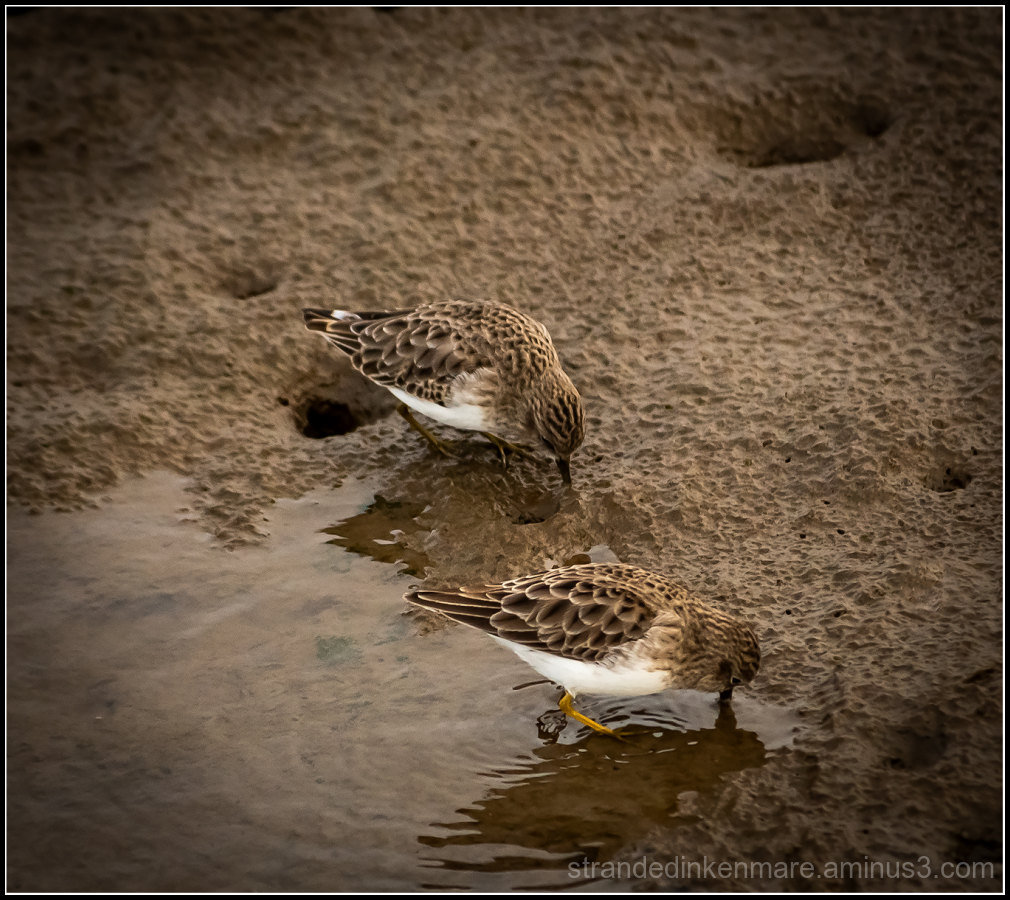 beaks in the mud