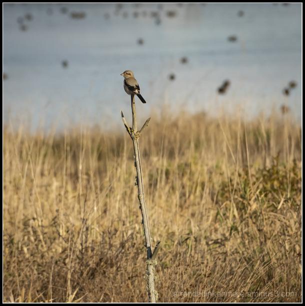 Nortern Shrike