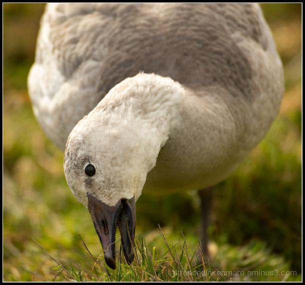 the goose bites back!