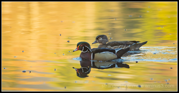 Pond Royalty