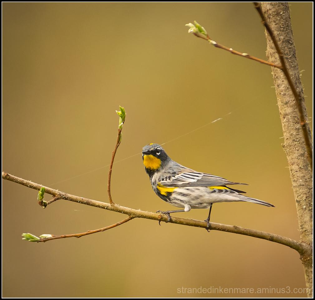 yellow dumped warbler
