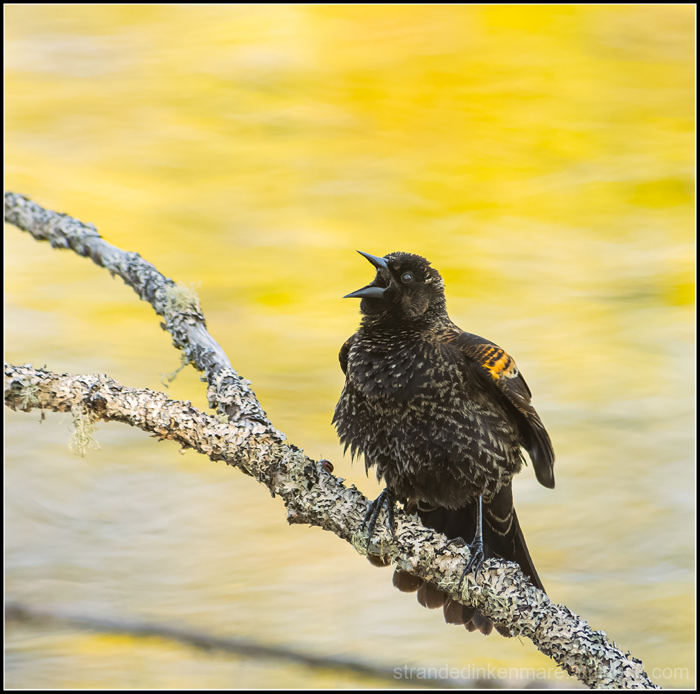 Immature Redwing Blackbird